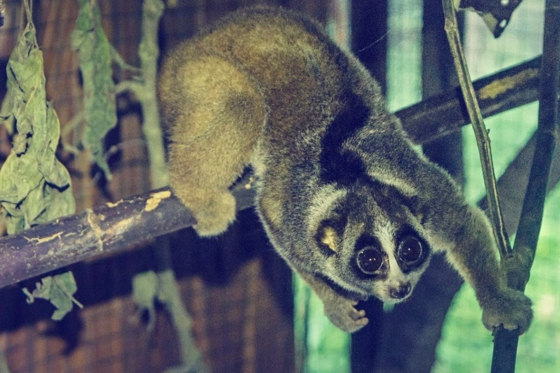 Establishment of the first rescue centre in Sumatra specializing in slow lorises